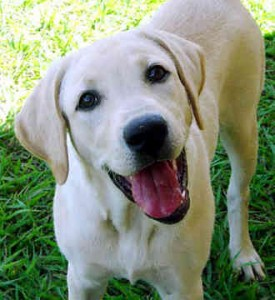 labrador-retriever-0335-275x300